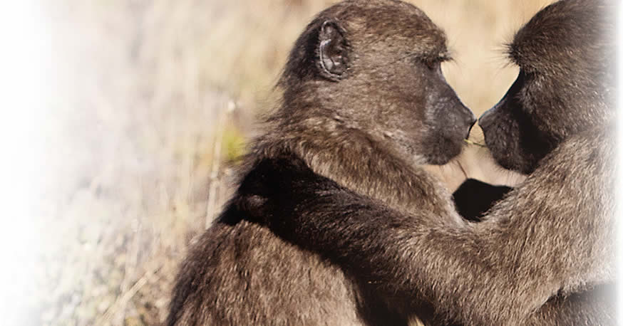 About Baboons in South Africa